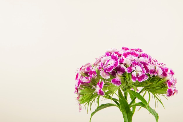 Side view of purple color sweet william or turkish carnation flower isolated on white background with copy space
