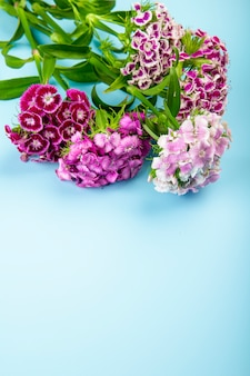 Side view of purple color sweet william or turkish carnation flowers isolated on blue background with copy space
