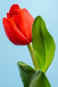 Vista laterale del fiore del tulipano di colore rosso isolata sulla tavola blu