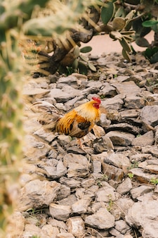Side view of a rooster on rock