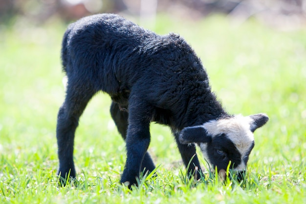 Side view of small healthy sheep with curly white black fleece standing alone in green grassy field grazing on bright blurred scene.