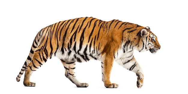 Side view of a walking tiger, big cat, isolated on white