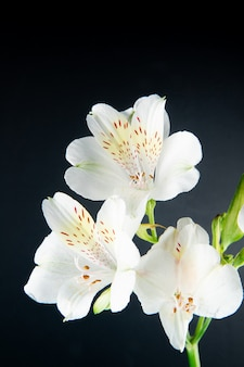 Side view of white color alstroemeria flowers isolated on black background