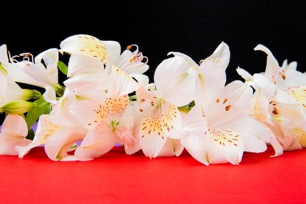 La vista laterale di alstroemeria bianco di colore fiorisce su fondo rosso