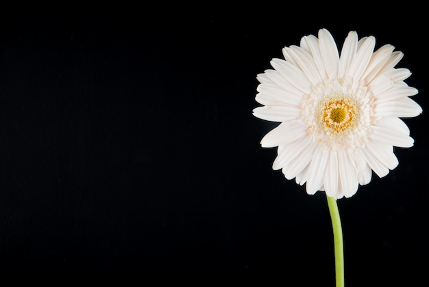 Side view of white color gerbera flower isolated on black background with copy space