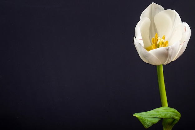 Side view of white color tulip flower isolated on black table with copy space
