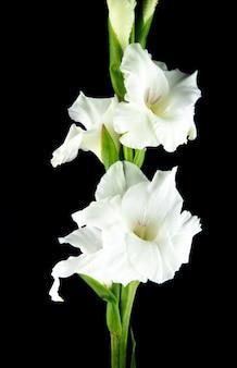Vista laterale del fiore bianco di gladiolo isolato su fondo nero