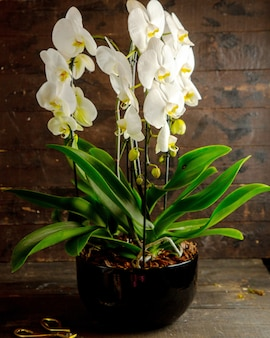 Side view of white phalaenopsis orchid flowers in full bloom in black flower pot