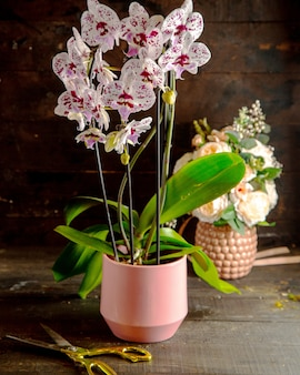 Side view of white and vivid pink phalaenopsis orchid flowers in full bloom in pink flower pot
