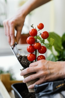 Vista laterale della donna che pianta i pomodori con la cazzuola