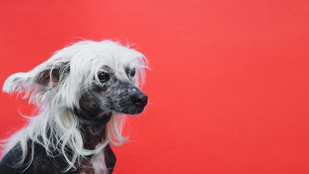 Sideways portrait of a chinese crested puppy with copy space background