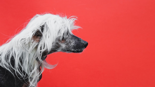 Sideways portrait of a chinese crested puppy