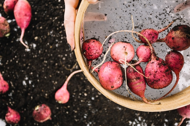 Sieve with radishes in crop hands