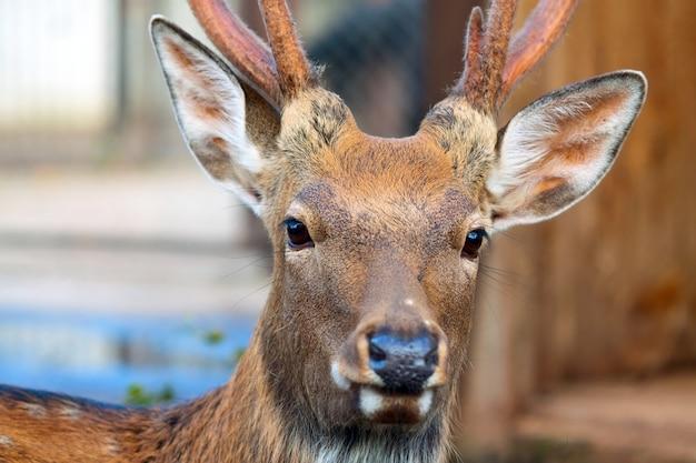 Sika deer against blur background