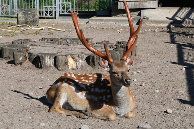 Sika deer basking on the ground