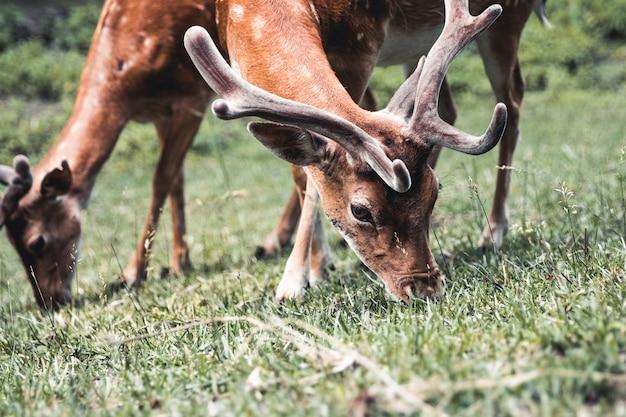 Пятнистый олень ест траву