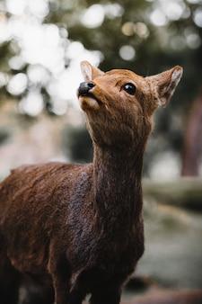 Пятнистый олень в парке нара, япония