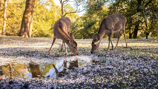 Sika deer live freely and drinking water on puddle with sakura flowers in a japanese nara park at sunset. wild cervus nippon drink with cherry blossom during spring season with beautiful sun.