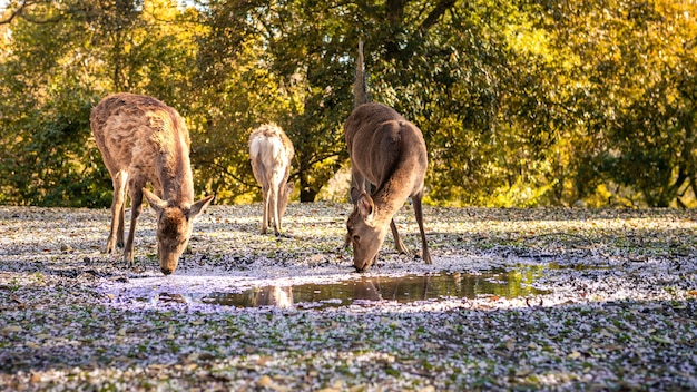 Sika deer live freely and drinking water on puddle with sakura flowers in japanese nara park. a young wild cervus nippon drink with cherry blossom during spring season. natural parks of the world.