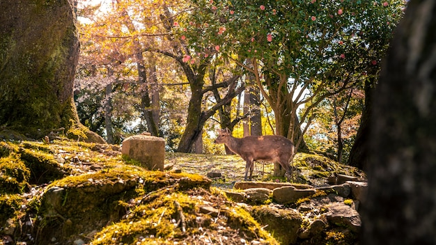 Sika deer live freely in a japanese nara park. a young wild cervus nippon during spring season. tourist attraction of japan. natural parks of the world.