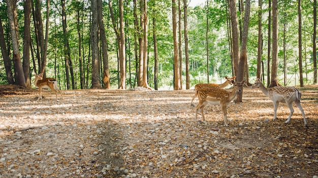 Sika or spotted deers in latvia in summer