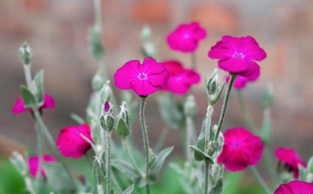 Silene coronaria flowers closeup