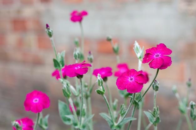 Silene coronaria (rose campion) flowers closeup