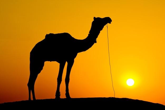タール砂漠の砂丘に沈む夕日のシルエットのラクダ