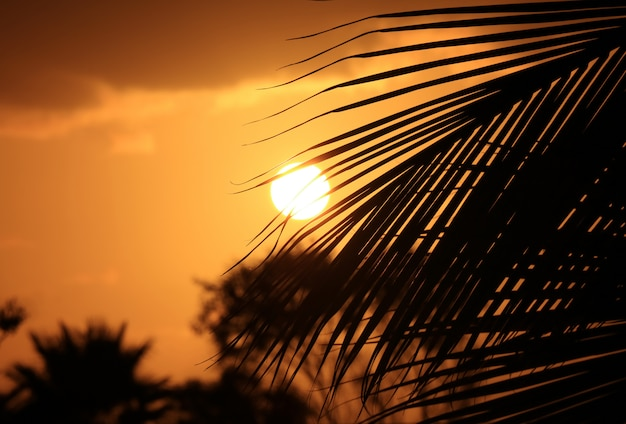 Silhouette of the coconut palm tree leaf against sunset on golden sky of easter island, chile