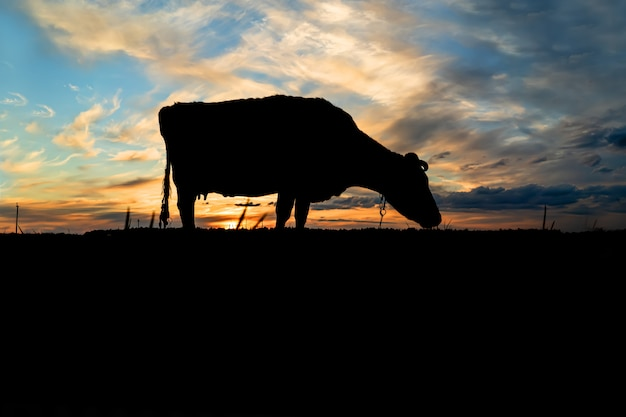 Silhouette of a cow against the blue sky and evening sunset