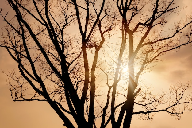Silhouette of dry tree and sunlight shining at twilight.