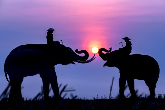 Silhouette of an elephant and a mahout at sunrise while traveling to rice fields.