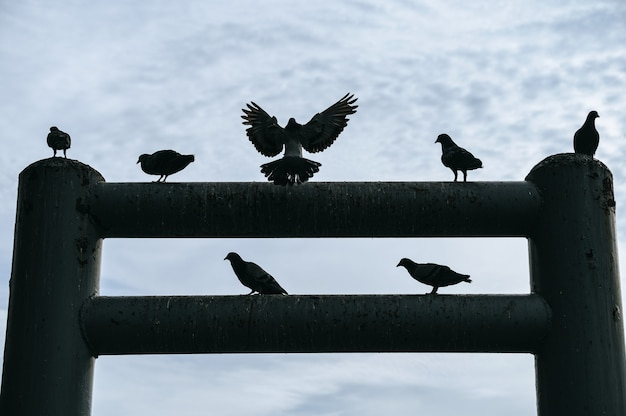 Silhouette flock of pigeon flapping and perched on pier post