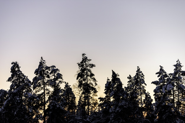 The silhouette forest has covered with heavy snow and sunset sky in winter season at holiday village kuukiuru, finland.