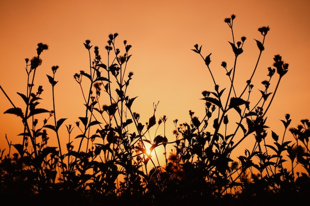 Silhouette of the grass with the sun in the evening. the concept of natural beauty