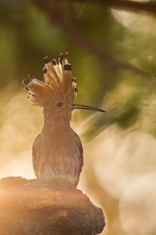 Silhouette of hoopoe, upupa epops, early in the sunny morning.