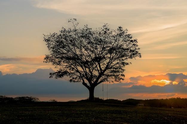 실루엣 큰 samanea saman 나무와 일몰