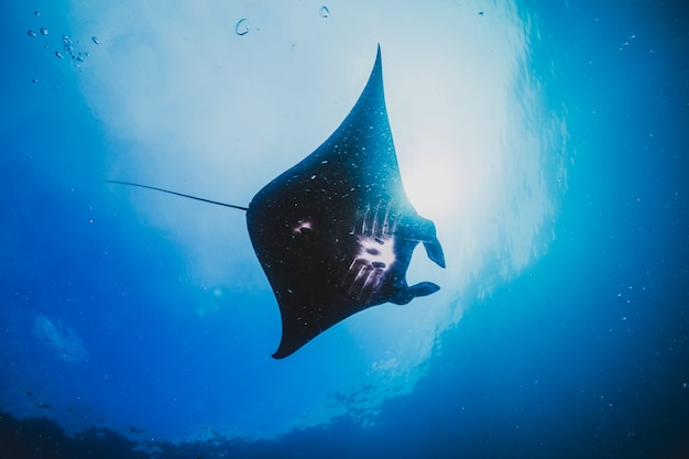 Silhouette of a manta ray soars overhead