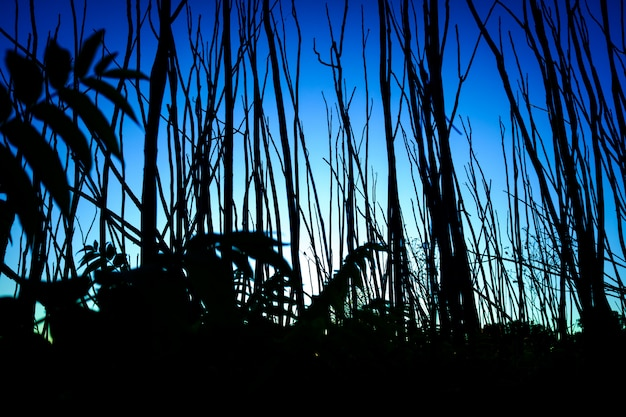 Silhouette of narrow trunks of trees at sunset with an intense blue sky.