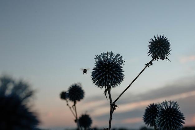 석양에 가시 블루헤드 꽃을 수분하는 꿀벌의 실루엣