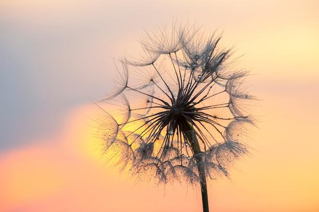 아침 이슬 방울과 백라이트에 민들레 꽃의 실루엣. 자연과 꽃 식물학