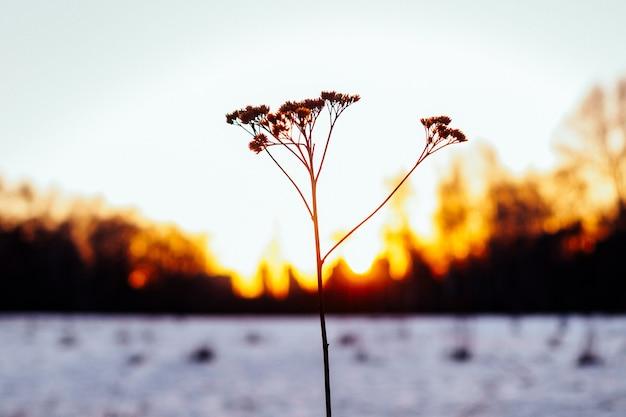 석양의 역광 속에서 겨울에 마른 외로운 식물의 실루엣