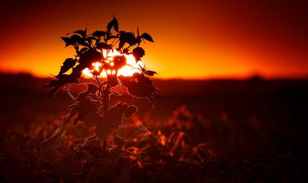 Силуэт цветка подсолнуха на фоне вечернего неба.