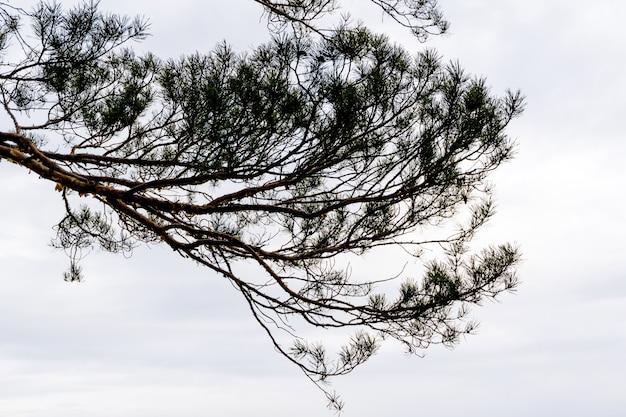 曇り空を背景に曲がりくねった松の枝のシルエット