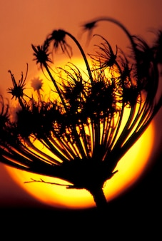 Silhouette of flower with sunset in background