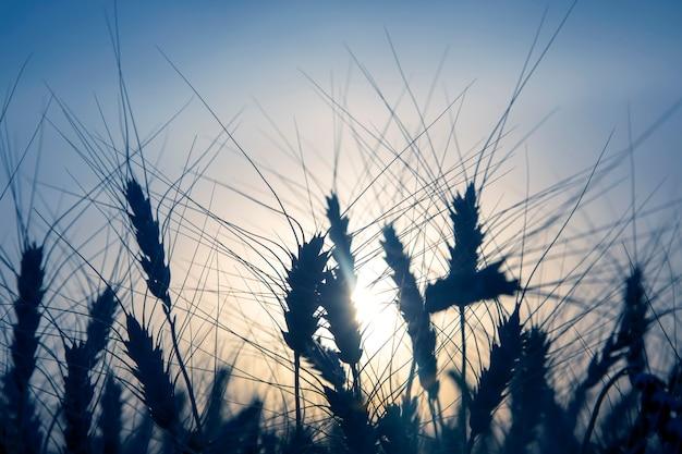 Силуэт растущей пшеницы крупным планом на фоне солнечного заката. агрономия и сельское хозяйство. пищевая промышленность.