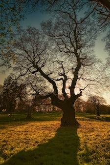 ゴールデンアワーの間の葉のない木のシルエット