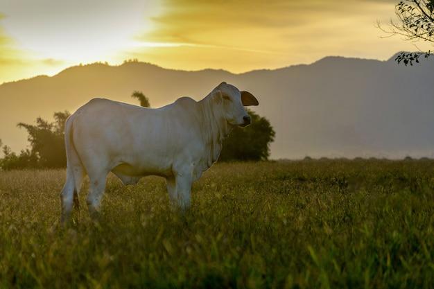 一日の終わりに日没時のネロール牛のシルエット