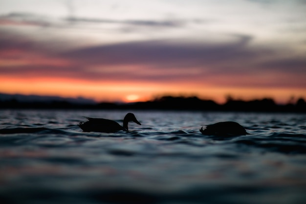 水に浮かぶ2羽のアヒルのシルエット