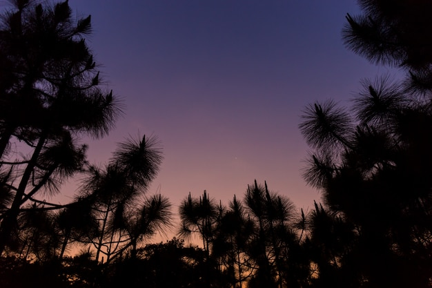 Silhouette pine trees in sunset time